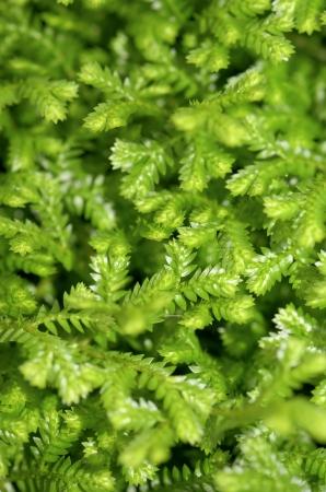 trailing: Selaginella kraussiana   Trailing Selaginella   small plant with creeping stems forms dense mats of green foliage