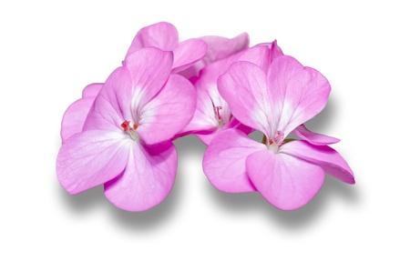 stamens: Geranium   Palargonium x hortorum   close-up of pink flowers