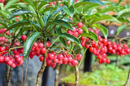 Ardisia Crenata   Myrsinaceae   plants small and bright red fruit