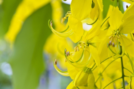 Golden Shower, Purging Cassia   Cassis fistula Linn    national flower of Thailand  Stock Photo