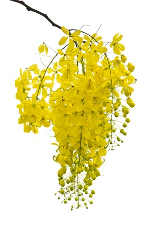 linn: Golden Shower, Purging Cassia   Cassis fistula Linn    national flower of Thailand on white background