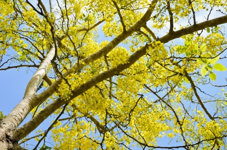 Golden Shower, Purging Cassia   Cassis fistula Linn  , Beautiful yellow flowers on the tree, national flower of Thailand photo