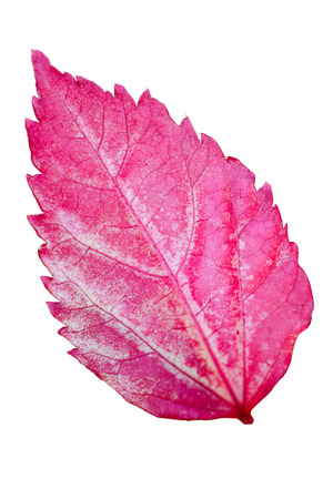 Pink leaf of the Snowflake Hibiscus   Hibiscus rosa sinensis   on white background photo