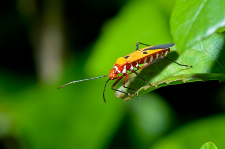 Red Cotton Bug  Dysdercus cingulatus  Close-up on a green leaf Stock Photo
