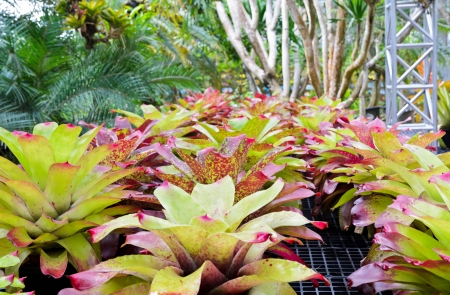 aechmea: Planting the Bromeliad   Aechmea Fasciata   with multicolored leaves in Thailand