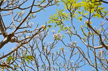 Frangipani   Plumeria   trees are blossom during the summer in Thailand photo