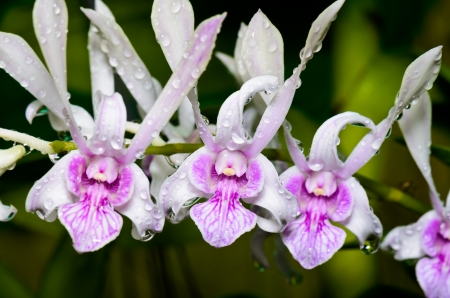 Dendrobium orchid hybrids is white with pink stripes in Thailand photo