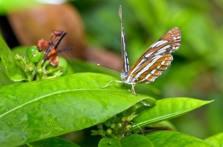 Common Sailor  Neptis hylas papaja  butterfly resting on a leaves in Thailand photo