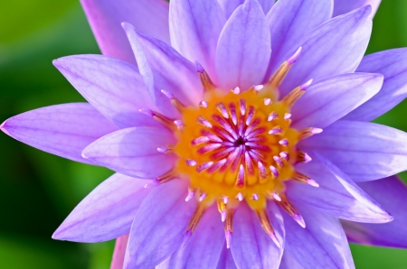 nymphaeaceae: Close up top of Purple Lotus   Nymphaea Nouchali   , Beautiful flower inThailand Stock Photo