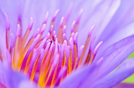 Macro pollen of purple lotus   Nymphaea Nouchali   , Beautiful flower inThailand photo