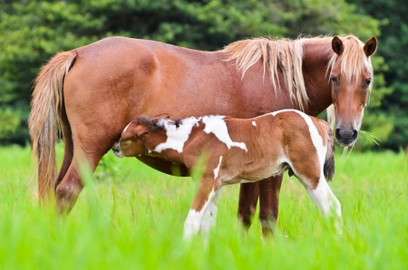 baby animals: Horse foal suckling from mare in the pasture of Thailand