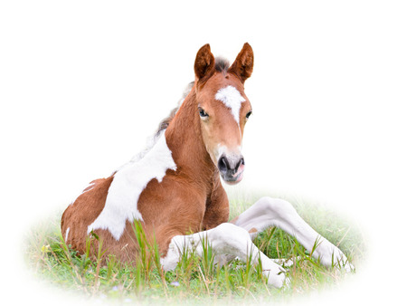 Horse foal are brown resting in grass on white background photo