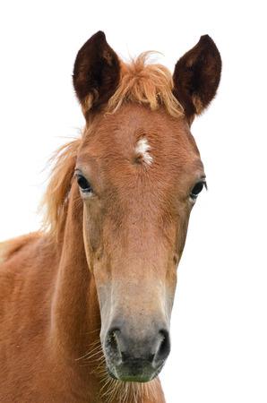 cabeza caballo: Frente de la cabeza de caballo aislado en blanco Foto de archivo