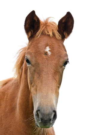 Front of the horse head isolated on white Stock Photo