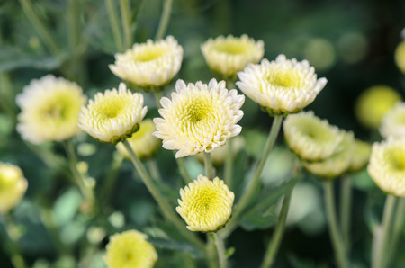 White Chrysanthemum Morifolium flowers at garden photo