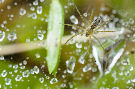 arachnoid: Close up top view of Lawn Wolf spider or Hippasa holmerae in Thailand Stock Photo