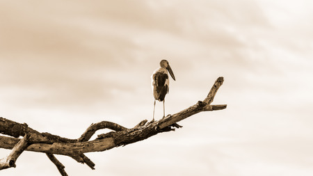 oscitans: Asian Openbill  Anastomus oscitans  White bird standing alone on trees that died in the drought, sepia color, 16 9 wide screen