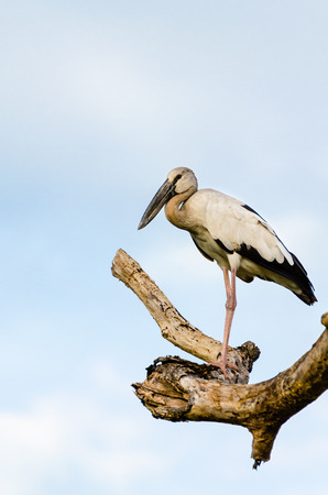 anastomus: Asian Openbill  Anastomus oscitans  White bird standing alone on trees that died in the drought Stock Photo