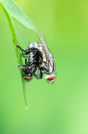 Close up Flesh Fly  Parasarcophaga ruficornis  mating on the leaf in green background photo