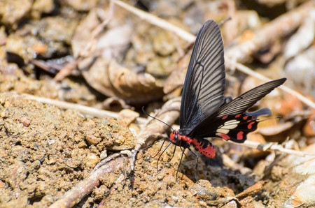 Rose Swallowtail Butterfly  Pachliopta aristolochiae  with red, black and white eating mineral on the salt marsh photo