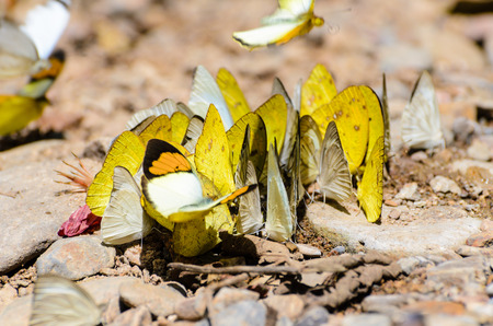 Large group of Grass Yellow or Eurema Hecabe butterfly and several species feeding on the ground  photo