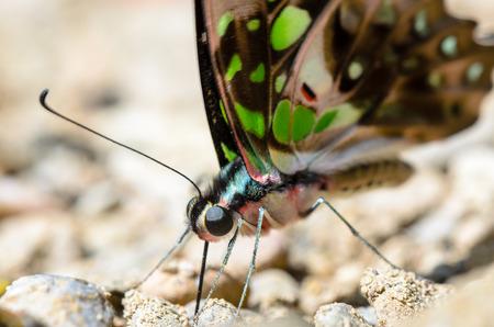 green jay: Close up atada de Jay Graphium Agamen�n mariposa con haber manchas verdes en la alimentaci�n de las alas en el suelo