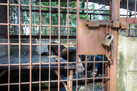 detention: Iron cage used detention Asiatic Black Bear is locked with a key. The problem of illegal wildlife trade Stock Photo