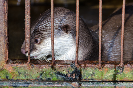 aonyx: Oriental Small-clawed Otter ( Aonyx cinerea ) in a cage. The problem of illegal wildlife trade Stock Photo