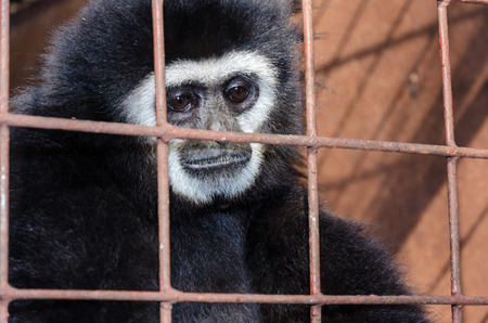 Face and eyes downcast of White-handed gibbon (Hylobates lar) in a cage. The problem of illegal wildlife trade photo