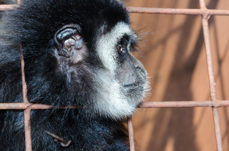Face and eyes downcast of White-handed gibbon (Hylobates lar) in a cage. The problem of illegal wildlife trade Stock Photo