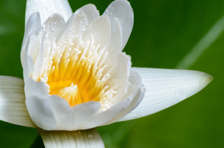 nymphaea: Close up yellow carpel and water drops on white petals of small lotus flower. Stock Photo