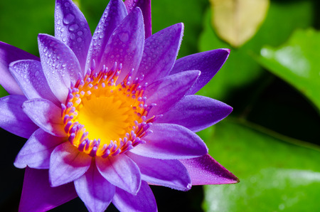 Colorful yellow carpel and water drops on purple lotus flower photo