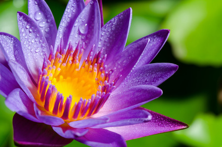 Beautiful color and water drops on purple Lotus or Water Lily flower Stock Photo