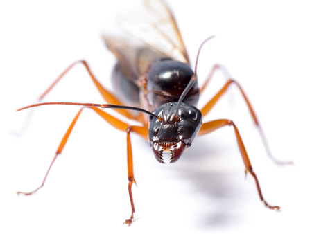 Close up of Black Carpenter Ant or Camponotus pennsylvanicus (winged male) on white background photo
