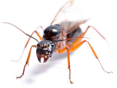 hormiga: Cierre de Negro hormigas carpinteras o Camponotus pennsylvanicus (alado masculino) sobre fondo blanco