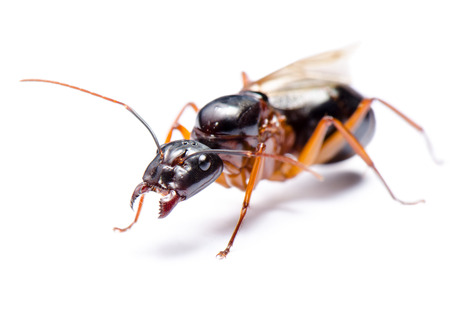 Close up of Black Carpenter Ant or Camponotus pennsylvanicus (winged male) on white background
