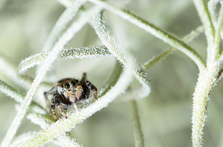arachnoid: Black Jumping spider hiding in the white aerial roots of Spanish moss