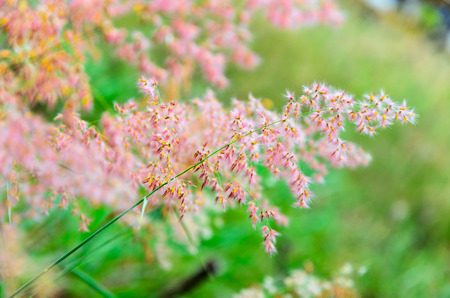 repens: Beautiful pink flower of Melinis repens or Rose Natal Grass