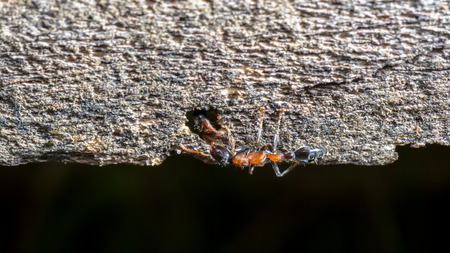 burrows: Two Carpenter Ants greeting in burrows on the old wood, widescreen 9:16 Stock Photo