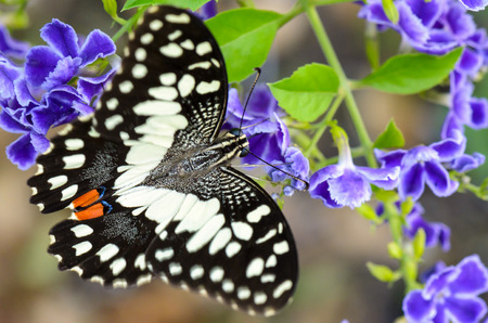 Close up black and white spots of Papilio demoleus or Lime butterfly eating nectar on blue flower photo