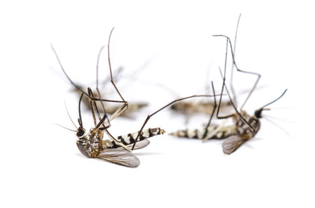 Close up group Aedes albopictus dead (Stegomyia albopicta), also known as (Asian) tiger mosquito or forest mosquito isolated on white background