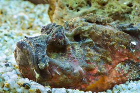 venomous: Synanceia verrucosa is a marine fish species known as the reef stonefish with venomous spine, It is shaped like a rock coral in a small aquarium