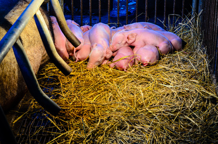 concurrent: Newborn pigs sleeping together on the straw beside his mother at night under the light, which provide warmth in rural farm of Thailand Stock Photo