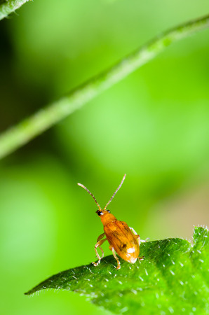 forthcoming: Close up Cucurbit Beetle or Aulacophora Indica on a green leaf is preparing to soar forward