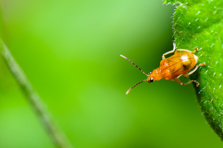 flit: Close up Cucurbit Beetle or Aulacophora Indica on a green leaf is preparing to soar forward