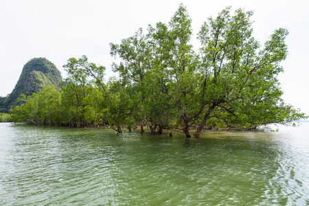 acanthaceae: Avicennia officinalis is a tree species of mangrove depend on water at sea in Phang Nga Bay or Ao Phang Nga National Park Thailand Stock Photo