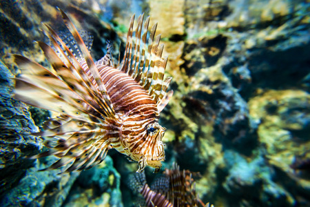 zebra lionfish: Lionfish or devil firefish Pterois miles is a sea fish exotic and beautiful