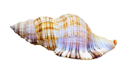 gastropod: Shell of sea snail is a marine gastropod mollusk isolated on white background with clipping paths Stock Photo