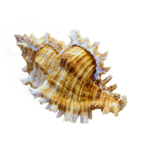 murex shell: Shell of Murex Saulii or Chicoreus Saulii is a species of sea snail, a marine gastropod mollusk in the family Muricidae isolated on white background with clipping paths