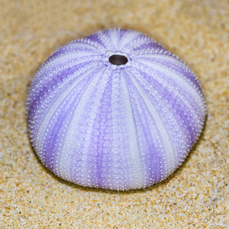 close up: Colorful shell of Sea Urchin or Urchin is round and spiny with purple and white on sand